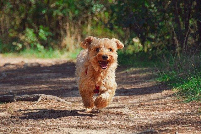 Pes, štěně, domácí mazlíček
